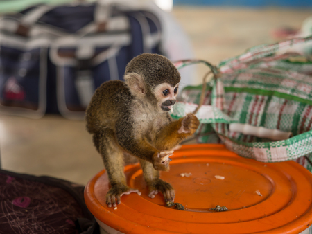 Amazon River, Peru - May 13, 2016: Samll exotic animal on the deck of cargo boat