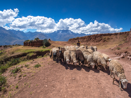 Moray, Peru - May 20, 2016: Peruvian Indian farmer with his sheep in the Sacred Valley
