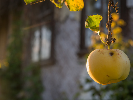Juicy, yellow, worm-eaten apple hanging on a branch with  wooden cottages in the Podlasie countryside Stok Fotoğraf