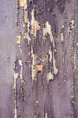 Background, texture. Wooden plank covered with dried and cracked purple paint