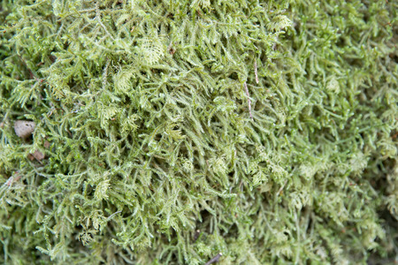 Background, texture. Nature. Bright green moss Stock Photo