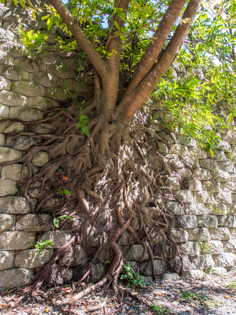 The roots of a massive tree climbing up a wall in the Taroko National Park in Taiwan
