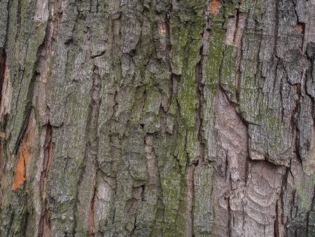 Background. Tree bark  with visible big cracks and algae Stock Photo