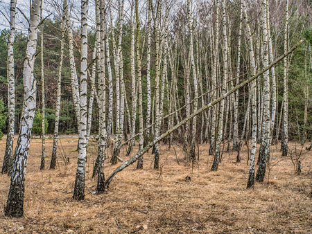 Birch copse  in Polish forest in spring