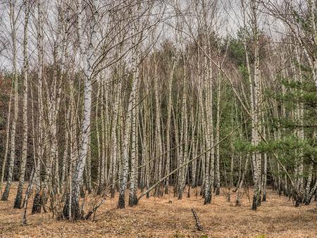 Birch copse  in Polish forest in spring
