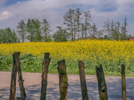 Wooden fence, a field of yellow rapeseed flowers and the clouds on the blue sky
