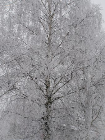White, frosted trees in winter