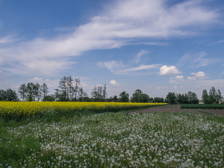 Polish field of rapeseed and sow-thistle on the background of blue sky