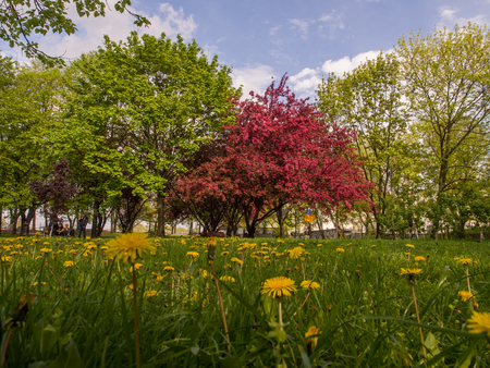 Crabapple tree and the sow-thistlein the park in the spring in Poland Stock Photo