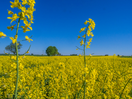 Field of rapeseed  on the background of blue sky