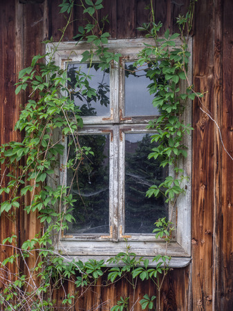 Village, Poland - May  21, 2017: Window of old, wooden, broken, abandoned  house cover with the ivy at  polish village Editorial