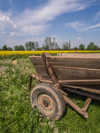 Polish field of rapeseed, sow-thistle and the waggon-driving  on the background of blue sky