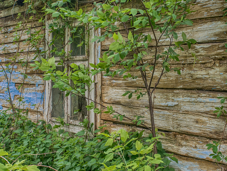 Window of old, wooden, broken, abandoned house cover with the ivy at polish village