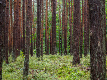 Beautiful deciduous forest, just behind dunes at the Polish seaside
