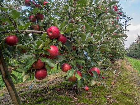 A fruit orchard with plenty number of big red, juicy apple in the sunlight