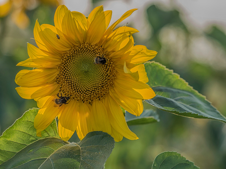 Sunflower on a field of sunflowers near Warsaw Stock Photo