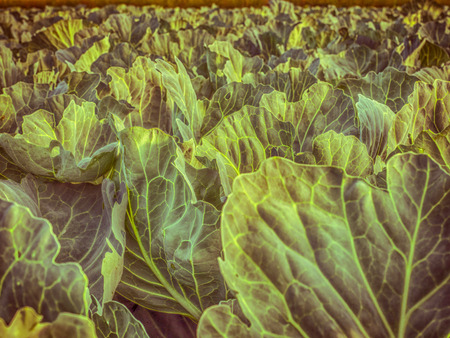 Field of young cabbage during the sunrise Standard-Bild