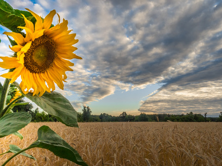 Sunflower on the background of grain field and sky with  beautiful clouds