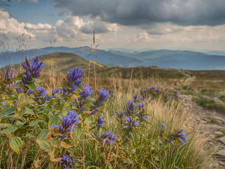 The willow gentian flower (Gentiana asclepiadea)  and the trekking trail on the Polonina Carynska in Bieszczady Mountains, Poland Banque d'images - 108086057