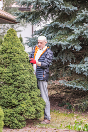 Mature man is cleaning conifer bush in the garden during spring ordering