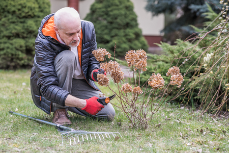 Mature man with a small beard during spring ordering, He is pruning branches of the flower in the garden,