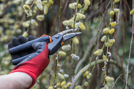 The hands of a mature man in working gloves pruning branches in the garden Reklamní fotografie