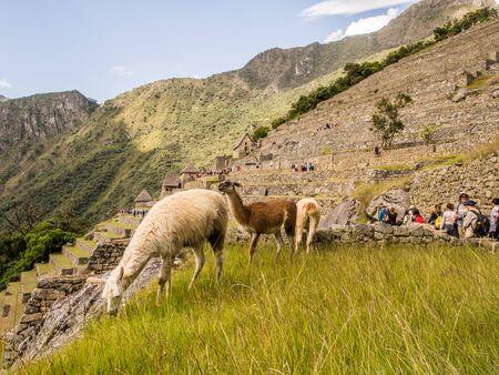 Machu Picchu, Peru - May 22, 2026: Llama walking in the ancient inca town of Machu Picchu. Suth America