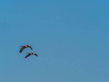 The common cranes (Grus grus), also known as the Eurasian cranes, The common crane (Grus grus), Eurasian crane flyimg on the blue sky. Warmia and  Masuria, Poland, Easstern Europe.