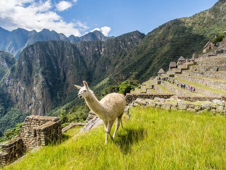 Machu Picchu, Peru - May 22, 2026:  Llama walking in the ancient inca town of Machu Picchu. Suth America Banque d'images