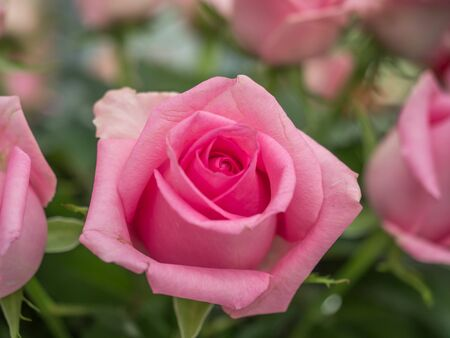 Blooming romantic fresh pink rose. Flower rose