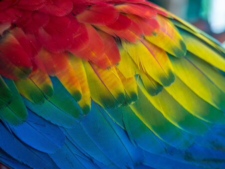 Background. Texture. Colorful feathers of Macaw parrots. The scarlet macaw (Ara macao) is a large red, yellow, and blue South American parrot, a member of a large group of Neotropical parrots called macaws. Amazonia.