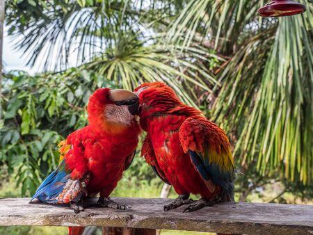 Wildlife love scene in tropical rain forest. Scarlet Macaws, Ara macao, Brazil. Amazonia. South America.