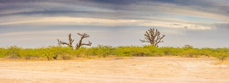 Single baobabs on the African steppe during dry season.  Trees of happiness, Panoramic view. Senegal. Africa. Stock Photo