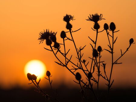 Silhouette of a flower on the background of an orange sunset. Time in the evening when the sun disappears and daylight fades