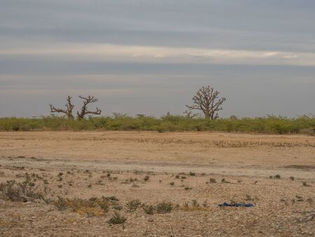 Single baobabs on the African steppe during dry season.  Trees of happiness, Senegal. Africa.