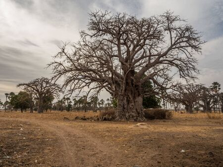 A powerful baobab tree next to the sandy, local read. Tree of happiness, Senegal. Africa.