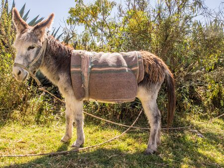 Donkey on the field near the Inca ruins, ruins, Andes mountains, Moray. Peru. South America