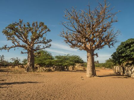 Baobab on the local sandy street.  Trees of happiness,Senegal. Africa.