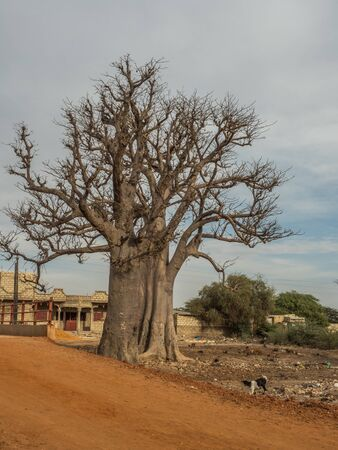 A huge baobab trees next to the red african road.Tree of happiness, Senegal. Africa.