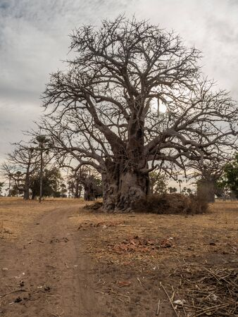 A powerful baobab tree next to the sandy, local read. Tree of happiness, Senegal. Africa. Stok Fotoğraf - 137486363
