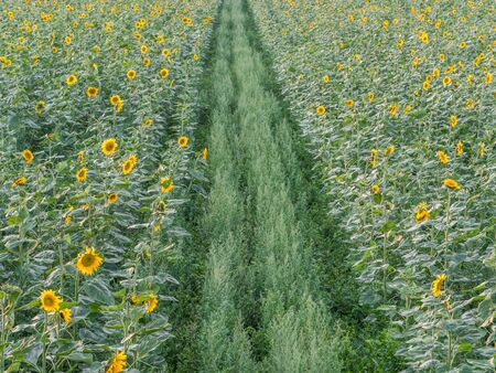 Green road through a field of sunflowers. Texture. Background