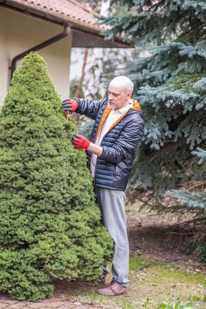 Mature man is cleaning conifer bush in the garden during spring ordering Stok Fotoğraf - 137591423