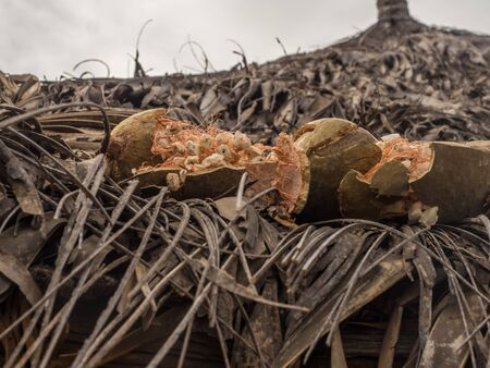 Baobab fruit dries on the roof of an African hut.  Tree of happiness, Senegal. Africa. Stok Fotoğraf - 137489557