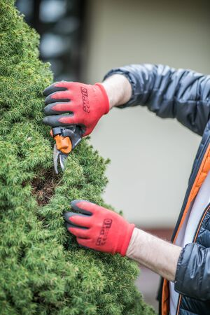 The hands of a mature man in working gloves  cleaning conifer bush in the garden during spring ordering
