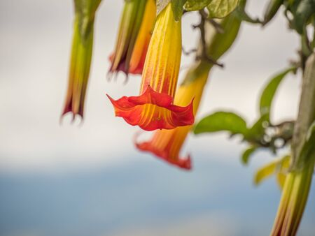 Red Angels trumpet (Brugmansia sanguinea) flowers, Flowers in shape of long bells.  Official name: Batura, stramonium. Vulcan Angel Trumpet (Brugmansia vulcanicola), Begonia. View of Bogota in the background, Colombia.