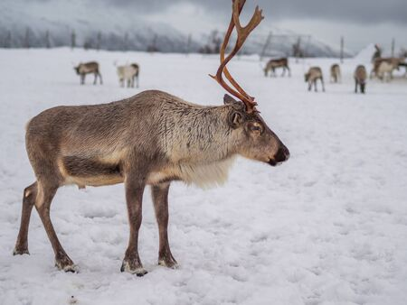 Portrait of a reindeer with antlers in a village of the tribe Saami near Tromso, Northern Norway, Europe.