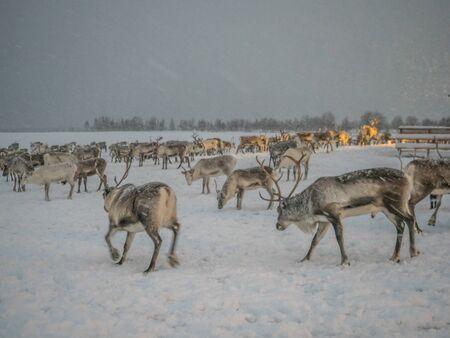 Falling snow and reindeer with antlers in a Saami village near Tromsø, Northern Norway, Europe.