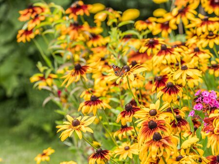 Rudbeckia in  an autumn plot. Common names of coneflowers and black-eyed-susans. Allocations in autumn in Poland.