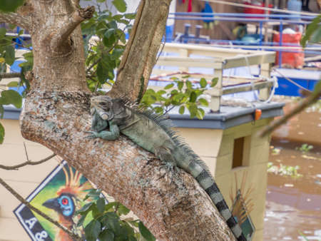 A large, green lizard on the tree in the Iquitos city, gate to the Amazon jungle. Amazonia. Latin America. Rain Forest.  Iquitos, Peru, South America.