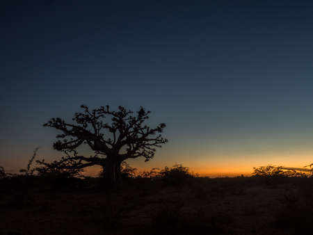 Silhouette of baobab tree at sunset. Tree of happiness, Senegal. africa Stock fotó